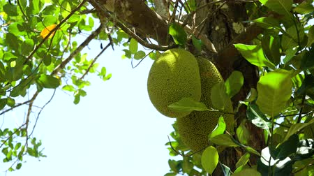 zvedák : Jackfruit Tree and young Jackfruits. Tree branch full of jack fruits.4k, Philippines,Palawan, Busuanga. Dostupné videozáznamy