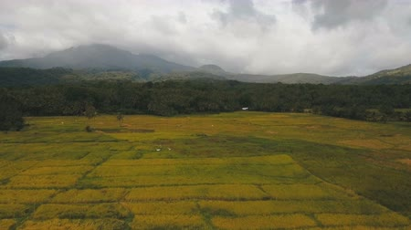 taras : Rice field with yellowish green grass, blue sky, cloud, cloudy landscape.Aerial view: rice plantation and hill. Terrace rice field from aerial view on the background of mountains and hills. .Philippines, Camiguin. 4K video. Aerial footage. Wideo