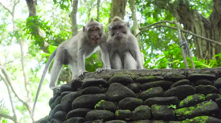 simio : Monos en el medio natural. Bali, Indonesia. Macacos de cola larga, Macaca fascicularis Archivo de Video
