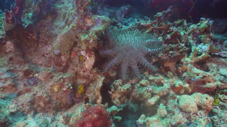 rozgwiazda : Crown of thorn starfish coral reef. Dive, underwater world, corals and tropical fish. Bali,Indonesia. Diving and snorkeling in the tropical sea. 4K video.