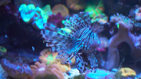 atol : Lionfish, an invasive species also called the scorpion fish or Pterois mombasae.