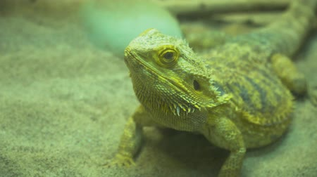 pogona : Inland Bearded Dragon, Pogona vitticeps
