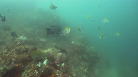 atol : Fish and coral reef. Dive, underwater world, corals and tropical fish. Bali,Indonesia. Diving and snorkeling in the tropical sea. Travel concept. 4K video. Stok Video