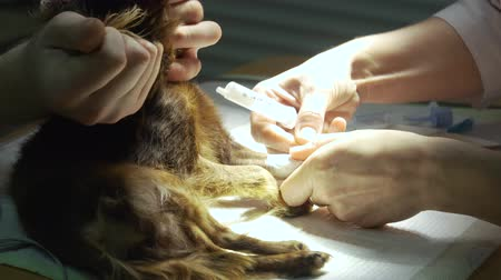 animal hospital : Veterinarian surgeon does an internal anesthetic for a dog in a veterinary clinic. Anesthesiologist prepares the dog for surgery. Stock Footage