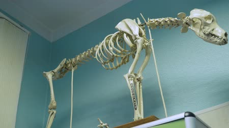 costelas : Model of a dogs skeleton with bones and skull.. Full-size dog skeleton in a veterinary clinic.