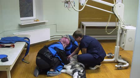 examining : Doctor radiologist is preparing a dog for X-ray.Dog in the X-ray room is prepared to examine the broken paw.