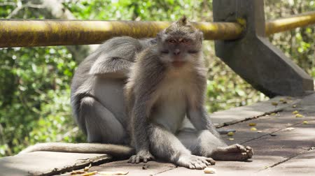 long tailed macaque : Monkeys in the natural environment. Bali, Indonesia. Long-tailed macaques, Macaca fascicularis