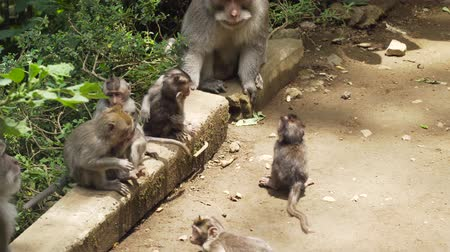 monkey : Monkeys in the natural environment. Bali, Indonesia. Long-tailed macaques, Macaca fascicularis