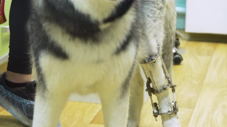 externo : Dog with a broken paw with External ring fixation technique in orthopedic medicine in veterinary clinic. Dog and Broken leg with metal fixator, External Fixation Ilizarov Apparatus.