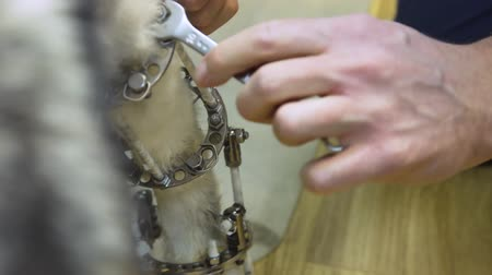 externo : Veterinarian makes adjustments Dog with broken paw with External ring fixation technique in orthopedic medicine in veterinary clinic. Dog and Broken leg with metal fixator, External Fixation Ilizarov Apparatus.