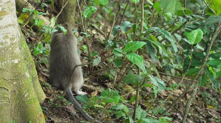 primates : Monkey macaque in the rain forest. Monkeys in the natural environment. Bali, Indonesia. Long-tailed macaques, Macaca fascicularis