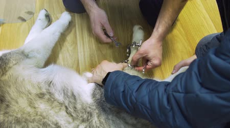 vnější : Veterinarian makes adjustments Dog with broken paw with External ring fixation technique in orthopedic medicine in veterinary clinic. Dog and Broken leg with metal fixator, External Fixation Ilizarov Apparatus.