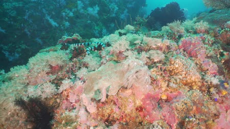 krait : Sea snake on coral reef. Banded Sea Snake underwater. Wonderful and beautiful underwater world. Diving and snorkeling in the tropical sea. Stock Footage
