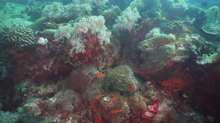 atol : Fish and coral reef at diving. Wonderful and beautiful underwater world with corals and tropical fish. Hard and soft corals. Philippines, Mindoro. Diving and snorkeling in the tropical sea. Travel concept. Stock Footage