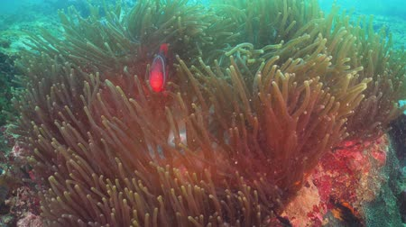red sea anemonefish : Clown Anemonefish in actinia on coral reef. Amphiprion percula. Mindoro. Underwater coral garden with anemone and clownfish. Philippines