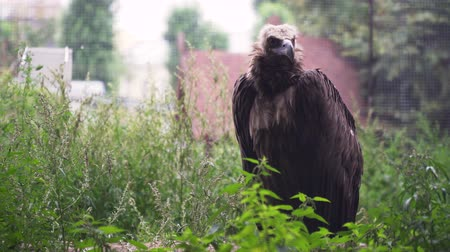 гриф : Vulture Griffin on a branch in the zoo. 4k