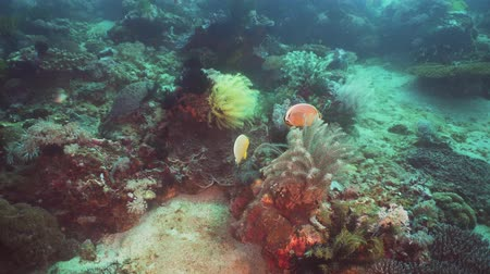 snorkeling : Tropical fish on coral reef at diving. Wonderful and beautiful underwater world with corals and tropical fish. Hard and soft corals. Philippines, Mindoro.