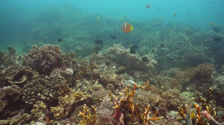 şnorkel : Fish and coral reef at diving. Wonderful and beautiful underwater world with corals and tropical fish. Hard and soft corals. Philippines, Mindoro. Diving and snorkeling in the tropical sea. Travel concept. Stok Video