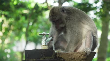 long tailed macaque : Monkey drinks water from the faucet. Bali, Indonesia. Long-tailed macaques, Macaca fascicularis