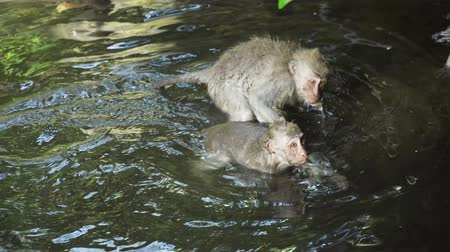simio : Los monos están nadando en el estanque. Monos en el medio natural. Bali, Indonesia. Macacos de cola larga, Macaca fascicularis Archivo de Video