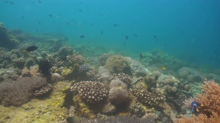 snorkeling : Fish and coral reef at diving. Wonderful and beautiful underwater world with corals and tropical fish. Hard and soft corals. Philippines, Mindoro. Diving and snorkeling in the tropical sea.