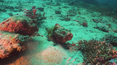 scorpionfish : Scorpionfish camouflaged on coral reef. Dive, underwater world, corals and tropical fish. Diving and snorkeling in the tropical sea. Philippines, Mindoro.