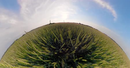 cereais : Field with green wheat on summer day spherical panorama little planet view. Spikelets of ripening green wheat on farm land. Vídeos