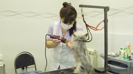 ветеринар : Pet grooming salon. Grooming a little dog in pet grooming, hairdressing salon for dogs. Small dog sits on the table while being clipper by a professional. Стоковые видеозаписи