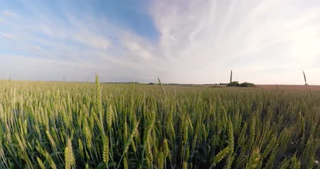 küresel : Field with green wheat on summer day spherical panorama. 360VR Spikelets of ripening green wheat on farm land.