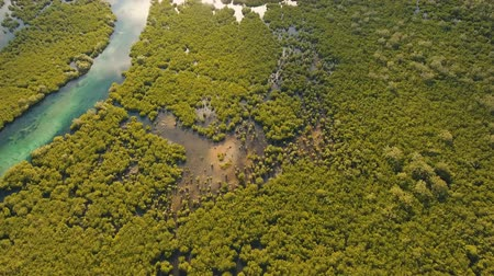gyertyafa : aerial footage mangrove tree forest and river Mangrove jungles, trees, river. Mangrove landscape. Philippines. Stock mozgókép