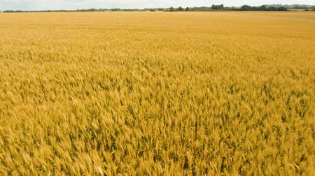 flying video : Aerial view wheat field. Golden wheat field. Yellow grain ready for harvest growing in a farm field. Aerial footage, 4k.