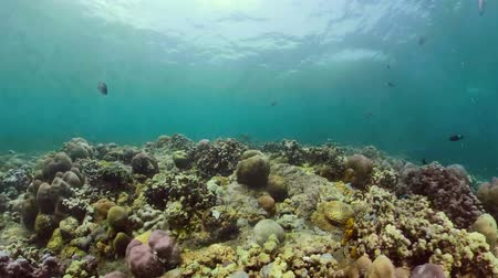 natura : coral reef and tropical fish underwater world diving and snorkeling on coral reef. Hard and soft corals underwater landscape