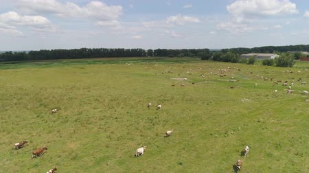 udder : Aerial view cows graze on the green field pasture feed on grass.. Cows on summer pasture. Cows Grazing On a meadow
