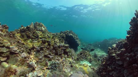 derinlik : tropical fish and coral reef underwater world diving and snorkeling on coral reef. Hard and soft corals underwater landscape