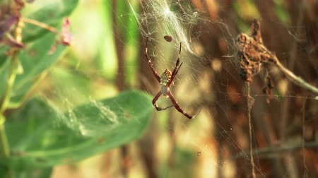 spinnenweb : tropical spider on web insect hunting Stockvideo