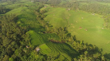scenes : rice terrace and agricultural land with crops. aerial view farmland with rice fields agricultural crops in countryside Indonesia,Bali Stock Footage