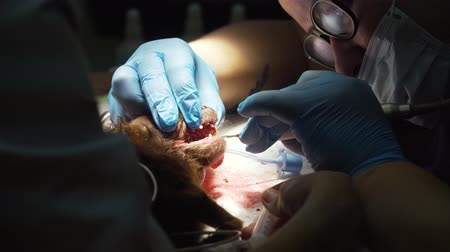 canine teeth : Veterinarian dentist is cleaning teeth from a dog, the animal is under anesthesia in a veterinary clinic. Veterinary stomatology, cleaning teeth from plaque and stone. Dog is having a teeth clean on the surgical table. Sanitation of the oral cavity in dog Stock Footage