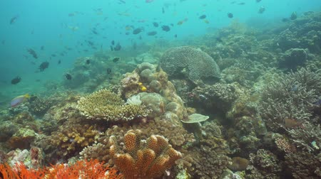 korall : Tropical fish on coral reef at diving. Wonderful and beautiful underwater world with corals and tropical fish. Hard and soft corals. Philippines, Mindoro.