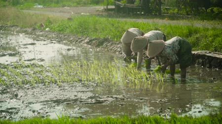 rýže : women farmers planting rice while standing in water. asian female farmer planting rice in field java, indonesia