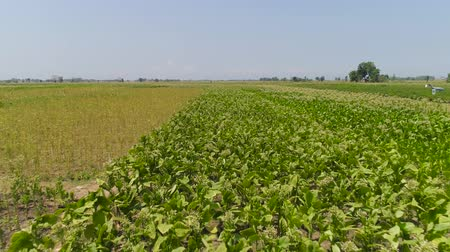 tabac : tobacco field with green plants in Indonesia. Growing tobacco on farmland. tobacco plantation java, indonesia Vidéos Libres De Droits