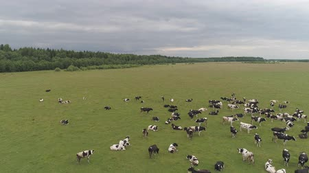 düve : Aerial view cows graze on the green field pasture feed on grass.. Cows on summer pasture. Cows Grazing On a meadow