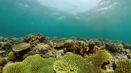 snorkeling : coral reef and tropical fish underwater world diving and snorkeling on coral reef. Hard and soft corals underwater landscape