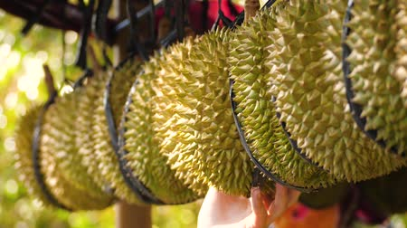 mal cheiroso : female hand picks ripe durian. Durian fruit for sale in market