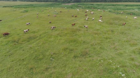 vemeno : Aerial view cows graze on the green field pasture feed on grass.. Cows on summer pasture. Cows Grazing On a meadow