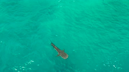 кит : Whale shark in blue water in the open sea from above. Whale shark in the wild wildlife. Philippines,Oslob, Cebu.