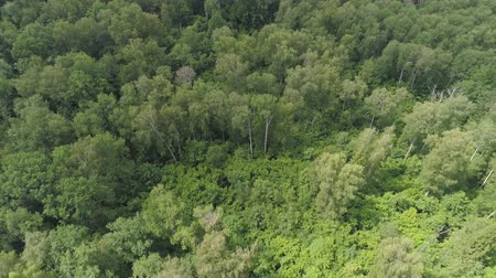 lucfenyő : Aerial view green forest, treetops, forest area. Pine, spruce forest from above. Flight over mixed forest on a sunny summer day