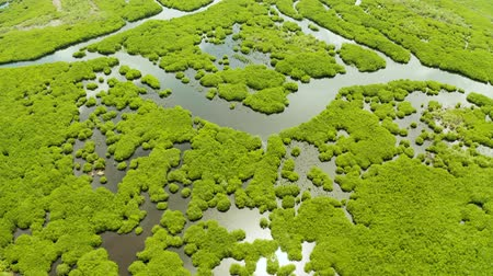raiz : Tropical landscape with mangrove forest in wetland from above on Siargao island, Philippines.