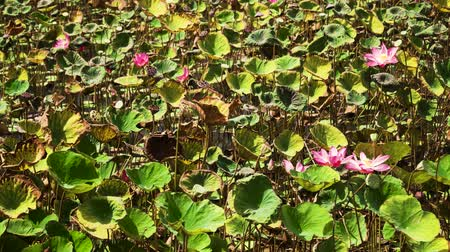 növénytan : Pink lotus flower plant on lake. Pink lotus flower blooming in river