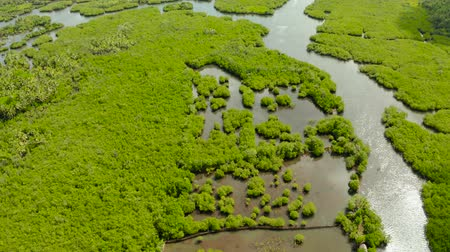 radici : Tropical landscape with mangrove forest in wetland from above on Siargao island, Philippines.