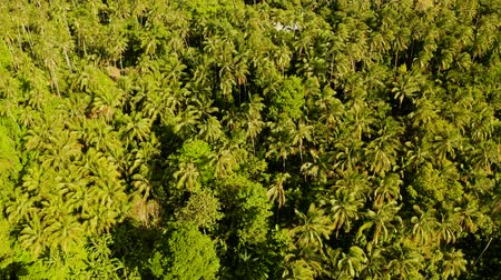 mindanao : Tropical green forest with palm trees and trees. Lush tropical vegetation. Camiguin, Philippines, Mindanao